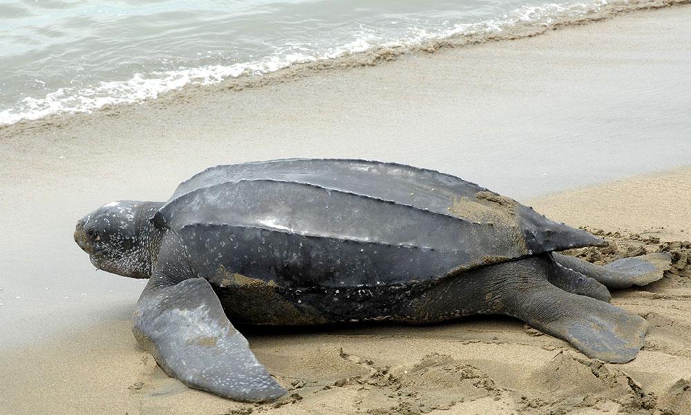 See leatherback turtles in Tobago